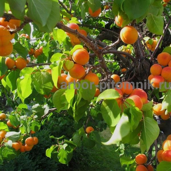 купить саженцы абрикоса питомник